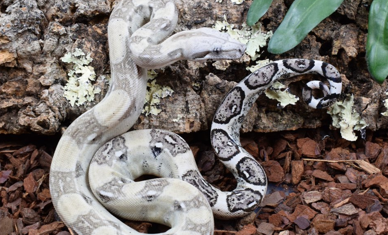Learn More about Boa Constrictors | Snake Country