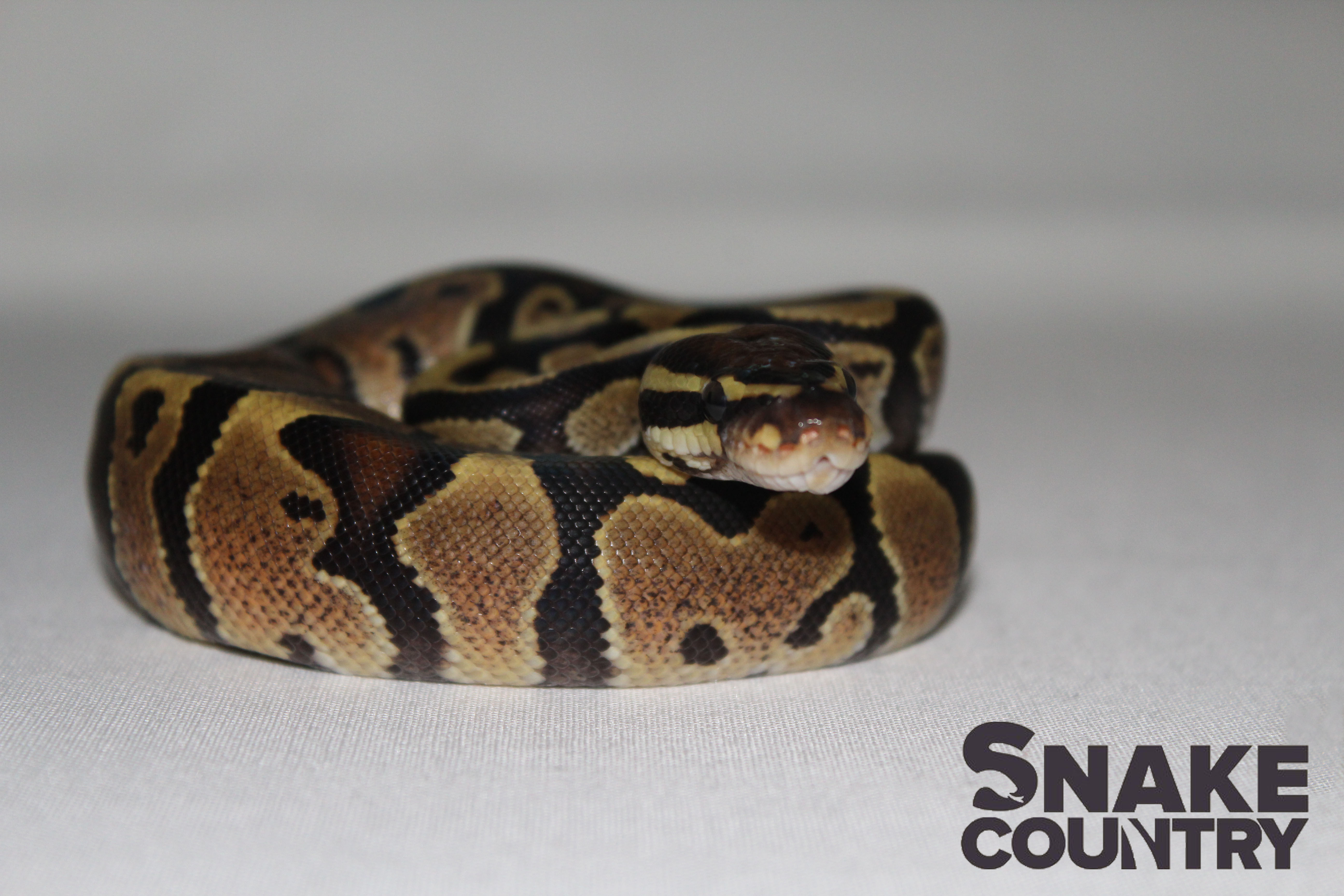Boa Constrictors, Ball Pythons & Amazon Basins for Sale